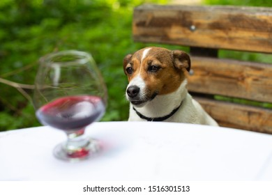 Sad dog Jack Russell Terrier sits at a table in the garden in the summer looking at a glass of red wine