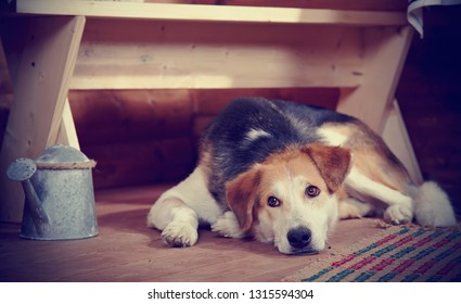 The sad dog lies under a bench in the rural house. Not purebred house dog.