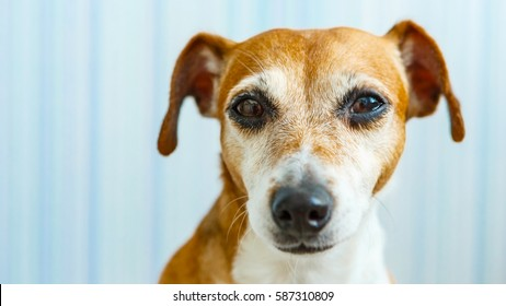 Sad dog looking for home.  Expressive calm eyes of beautiful young dog.  Blue background.
