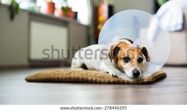 Sad dog lying on a bed sick with vet plastic Elizabethan collar