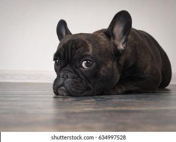 Sad dog lying on the floor. Expressive eyes