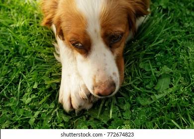 Sad dog lying on grass