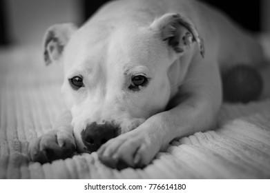 Sad dog is lying on a white carpet