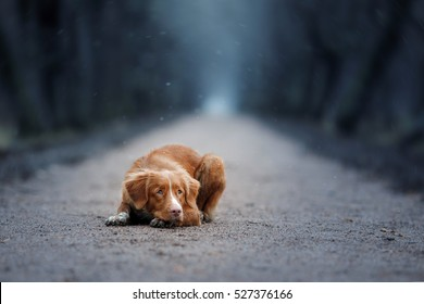 sad dog. Nova Scotia Duck Tolling Retriever