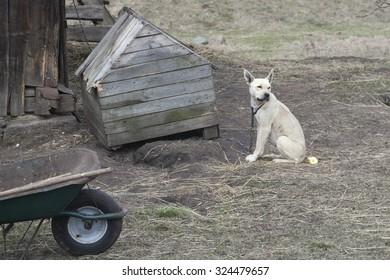 The sad dog on a chain. Chain dog.