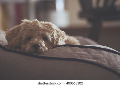 Sad dog on a couch.
