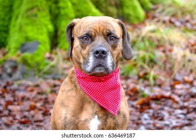 Sad dog stood in woodland with bandana