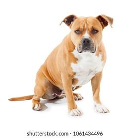 sad dog tawny pitbull isolated on white background
