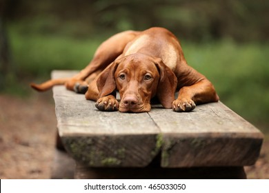 Sad Dog Vizsla lying on bench