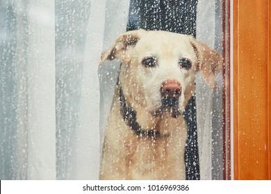 Trauriger Hund wartet allein zu Hause. Labrador Retriever durch das Fenster schauen während des Regens.