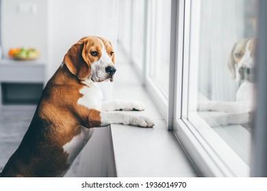 Sad dog waiting alone at home.