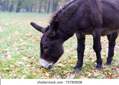 A sad donkey eats grass among fallen autumn leaves.