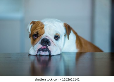 Sad English Bulldog on dinner table looking forward to camera in home studio