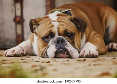 sad english bulldog puppy is waiting