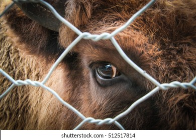 the sad eyes of the cows behind bars