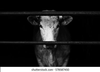 Sad farm cow behind bars with black background.
