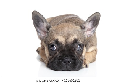 Sad French bulldog puppy lying on a white background