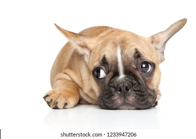 Sad French bulldog puppy lying on white background. Baby animal theme