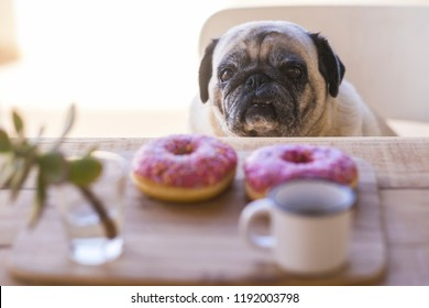 sad funny expression pug dog sitting on the table with sweet beautiful colored breakfast in front with two sugar donuts and a coffee. wake up morning and diet concept for happy lifestyle