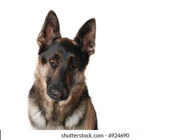 Sad German Shepherd dog, white background