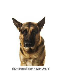 Sad German Shepherd. Isolated on white background.