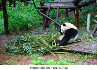 Sad giant panda sits by bamboo branched in Sichuan Giant Panda Sanctuaries, Chengdu, Summer