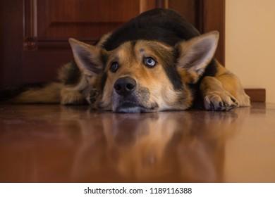 a sad, gloomy Alaskan Shepherd dog lying on a wooden floor