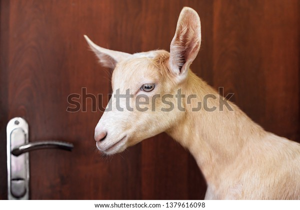 Groovy Sad Goat Inside Room Door Concept Stock Photo Edit Now Home Interior And Landscaping Spoatsignezvosmurscom