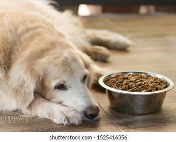 Sad golden retriever dog get bored of food.Golden retriever dog laying down by the bowl of dog food and ignoring it.