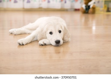 Sad golden retriever puppy lying on the floor