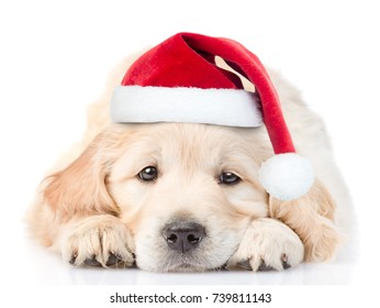 Sad Golden Retriever puppy in red christmas santa hat lying in front view. isolated on white background
