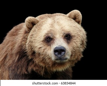Sad grizzly brown bear looking at camera, lots of details, isolated on black background.