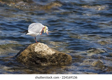 Sad Gull entangled in a lures, education concept, innocent victim of the  humanity