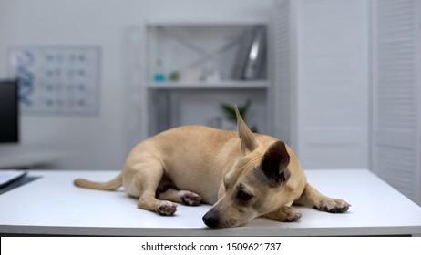 Sad homeless dog lying on table at animal shelter clinic, pet examination, help