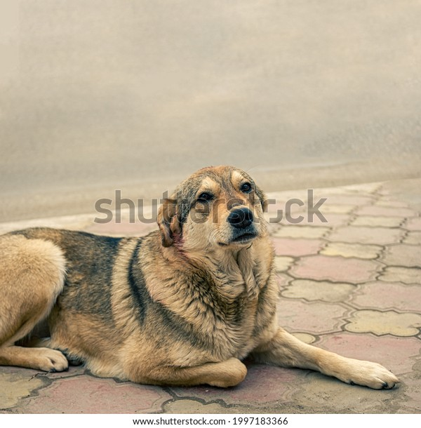 Sad homeless stray dog is resting on pavement looking at camera. There is a lack of animal shelters in Russia.
