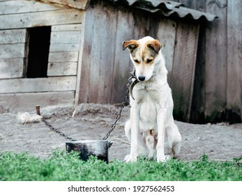 Sad, hungry, thin and lonely dog in chain sitting outside dog house. Concept of animal abuse