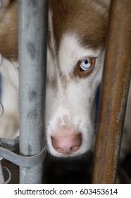 Sad Husky at Shelter