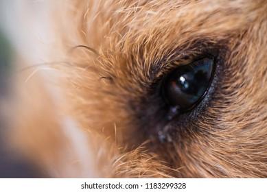 Sad jack russel dog laying on carpet indoor closeup