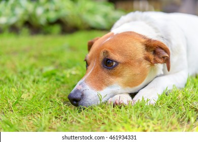 sad jack Russel on green meadow