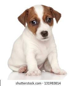 Sad Jack Russell puppy. Close-up portrait on a white background