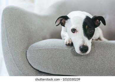 sad jack russell terrier dog lying on armchair