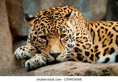 A sad jaguar lies on a stone.