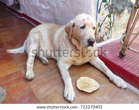 Sad Labrador Paint On Face India Stock Photo Edit Now 722270401