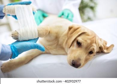 Sad labrator with broken leg at vet surgery