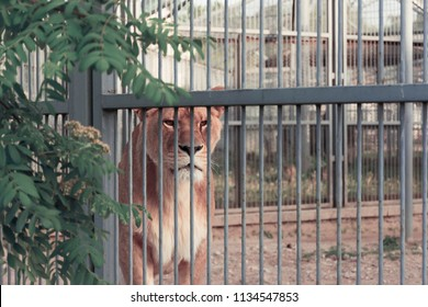 A sad lioness in the cage of the zoo. A lonely lioness is locked up.