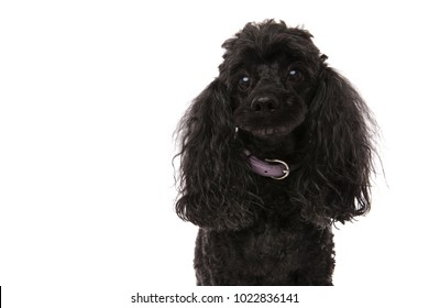 sad little black poodle isolated on white background