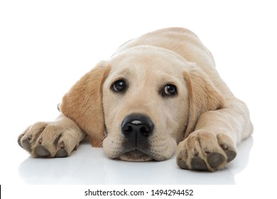 sad little labrador retriever puppy dog lying head between paws on white background