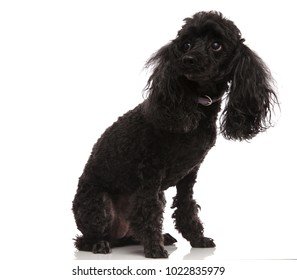 sad little poodle looks to side on white background