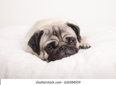 sad little pug puppy dog, lying down crying on fuzzy blanket