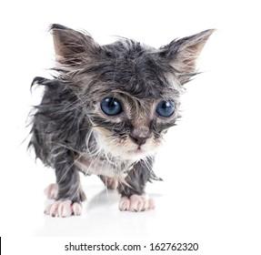 Sad little wet gray kitten